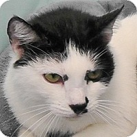 Domestic Shorthair Cat for adoption in Redondo Beach, California - Sonny