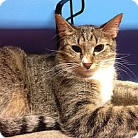Domestic Shorthair Cat for adoption in Topeka, Kansas - Moirne