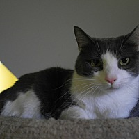 Adopt A Pet :: Sweet Pea - Monroe, CT