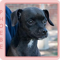 Adopt A Pet :: PHOEBE - Dallas, NC