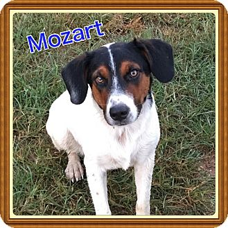 Mountain Cur Mix Dog for adoption in Cranford, New Jersey - Mozart