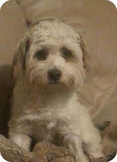 Poodle (Miniature)/Shih Tzu Mix Dog for adoption in Greeley, Colorado - Scamper
