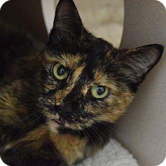 Domestic Shorthair Cat for adoption in Denver, Colorado - Fera