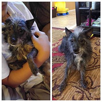 Terrier (Unknown Type, Small) Mix Dog for adoption in Las Vegas, Nevada - Heinz