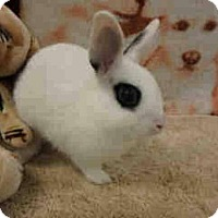 Dwarf Hotot Mix for adoption in Los Angeles, California - Snowball