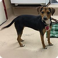 Adopt A Pet :: Primrose (Prim) - Battle Creek, MI