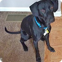 Adopt A Pet :: Joey - North Olmsted, OH