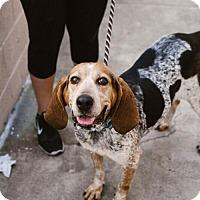 Adopt A Pet :: Tulip - Chino Hills - Chino Hills, CA
