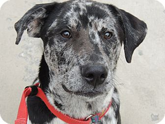 Australian Shepherd/Labrador Retriever Mix Dog for adoption in Harrisonburg, Virginia - Apollo