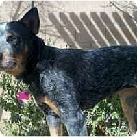 Adopt A Pet :: Harriet ADOPTION PENDING - Phoenix, AZ