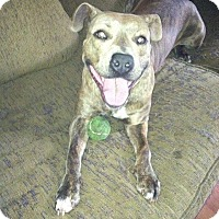 American Staffordshire Terrier Mix Dog for adoption in Summerville, South Carolina - Delilah