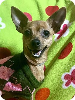 Chihuahua Dog for adoption in Cleveland, Ohio - Sparkles Flambeaux