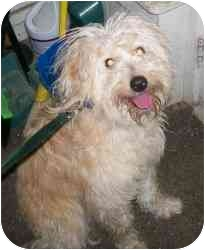 Cockapoo/American Eskimo Dog Mix Dog for adoption in Randolph, New Jersey - Gus