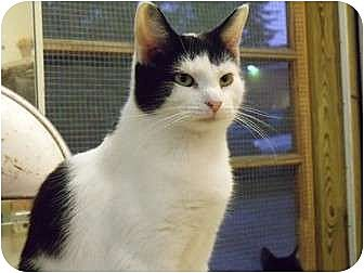 Domestic Shorthair Cat for adoption in MADISON, Ohio - May May