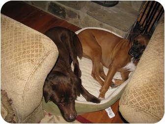 Chesapeake Bay Retriever Mix Dog for adoption in Madison, Wisconsin - Apollo