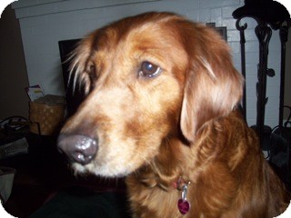 Golden Retriever Dog for adoption in New Canaan, Connecticut - Sugar