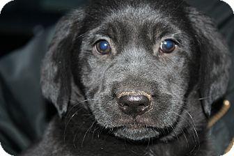 Golden Retriever/Rottweiler Mix Puppy for adoption in Hamburg, Pennsylvania - Miranda Lambert