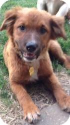 German Shepherd Dog Mix Puppy for adoption in Hancock, Michigan - Rain