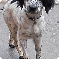Adopt A Pet :: Irish Setter Mix - Aloha, OR