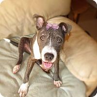 Adopt A Pet :: Angel - Chattanooga, TN