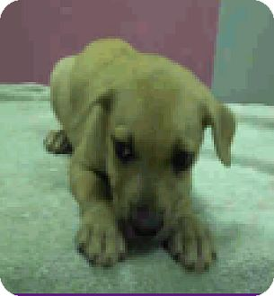 Labrador Retriever Mix Puppy for adoption in Fort Collins, Colorado - Missy