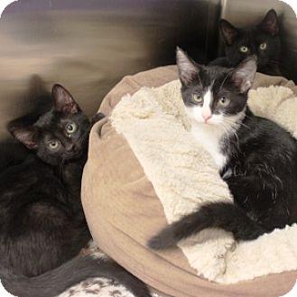 Domestic Shorthair Kitten for adoption in Naperville, Illinois - Amelia