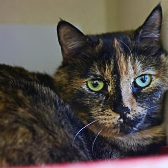 Domestic Shorthair Cat for adoption in Denver, Colorado - Michonne