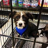 Adopt A Pet :: McScruffins - Houston, TX
