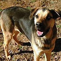 Shepherd (Unknown Type)/Hound (Unknown Type) Mix Dog for adoption in Greenville, South Carolina - Teddy