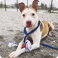 Adopt A Pet :: Flynn - Blacklick, OH