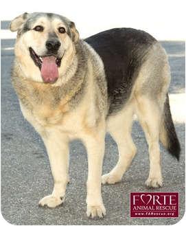 German Shepherd Dog/Alaskan Malamute Mix Dog for adoption in Marina del Rey, California - Henry