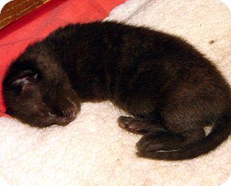 Domestic Shorthair Kitten for adoption in Florence, Kentucky - Bobby