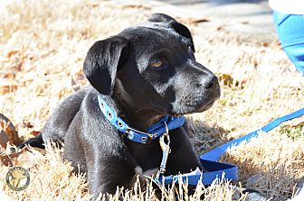 Labrador Retriever Mix Puppy for adoption in Cumming, Georgia - Rowdy