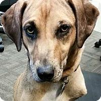 Adopt A Pet :: Amaya - Austin, TX