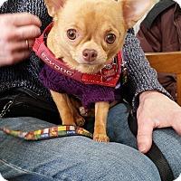 Adopt A Pet :: Lily - Pierrefonds, QC