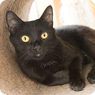 Domestic Shorthair Cat for adoption in Wilmington, Delaware - Zofia