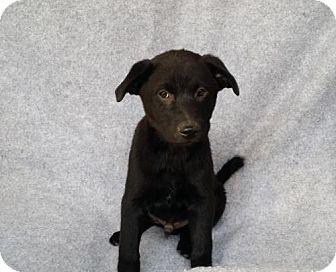 Sheltie, Shetland Sheepdog/Border Collie Mix Puppy for adoption in Olympia, Washington - Trevor