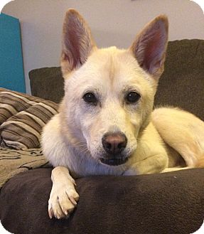 Jindo Dog for adoption in Plainville, Connecticut - Lucky