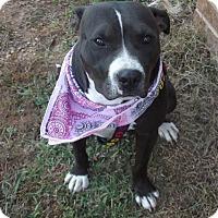 Adopt A Pet :: Bella - Albemarle, NC