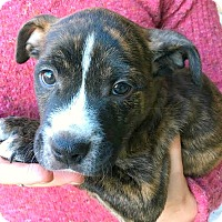 Adopt A Pet :: Lucas-ADOPTION PENDING - Boulder, CO