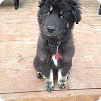 Adopt A Pet :: OREO - Winnipeg, MB