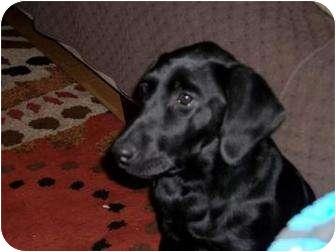 Labrador Retriever Puppy for adoption in Altmonte Springs, Florida - Nikki