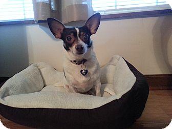Fox Terrier (Toy) Mix Dog for adoption in Marietta, Georgia - Bambi