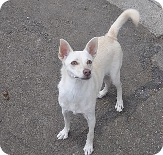 Chihuahua/Parson Russell Terrier Mix Dog for adoption in Tumwater, Washington - Luna