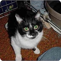 Domestic Shorthair Cat for adoption in Union Lake, Michigan - Valerie>^.,.^< $35 adoption