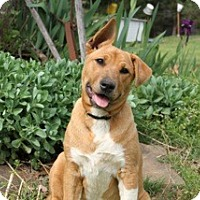 Adopt A Pet :: Brownie - Somers, CT