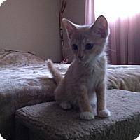 Adopt A Pet :: Biscuit - Chandler, AZ