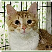 Domestic Mediumhair Cat for adoption in New Richmond,, Wisconsin - HiJinx