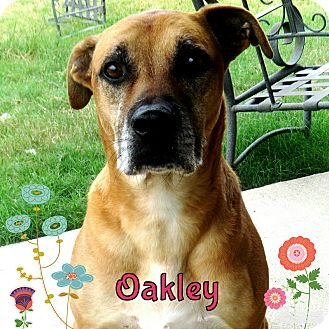 Boxer/Rottweiler Mix Dog for adoption in Rowlett, Texas - Oakley