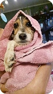 Jack Russell Terrier Mix Puppy for adoption in Trenton, New Jersey - Snoopy